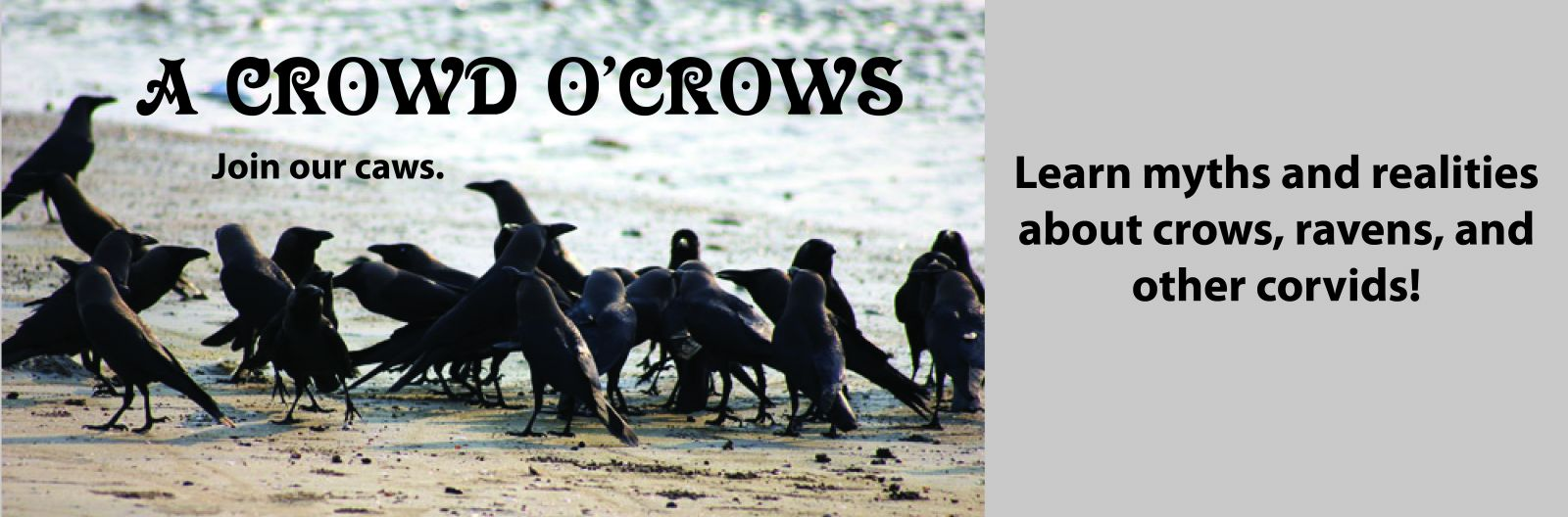 A Crowd O'Crows