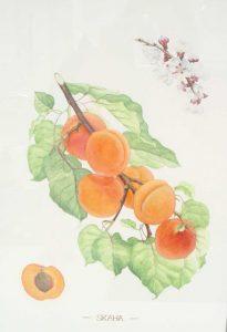Skaha 205x300 Science as Art: Botanical Illustration of Canadian Tree Fruit Varieties