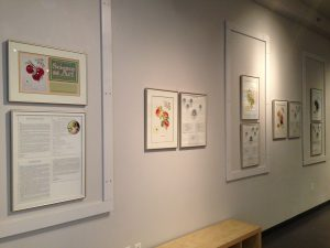 White Rock installation 300x225 Science as Art: Botanical Illustration of Canadian Tree Fruit Varieties