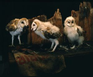 babyowls 300x247 Birds of Prey